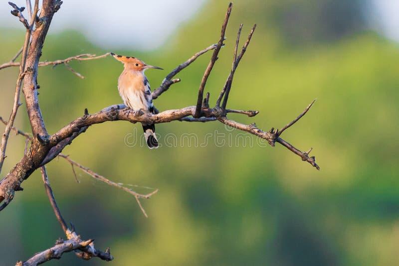Epops euroasiatici del Upupa o dell'upupa L'uccello sta sedendosi sui rami immagini stock