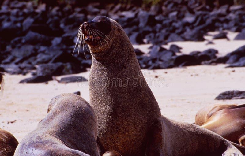 Equador:在加拉帕戈斯群岛海滩的海狮 免版税库存图片