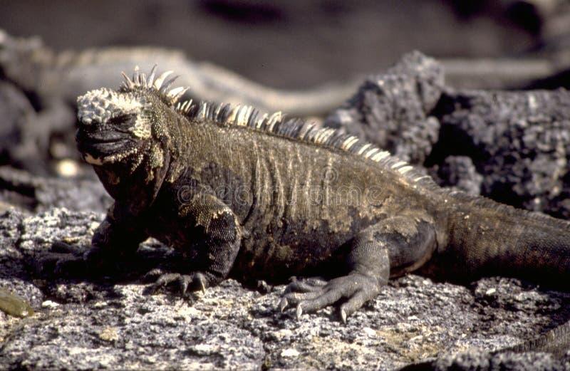 Equador: Galapagos-leguanen stock afbeeldingen
