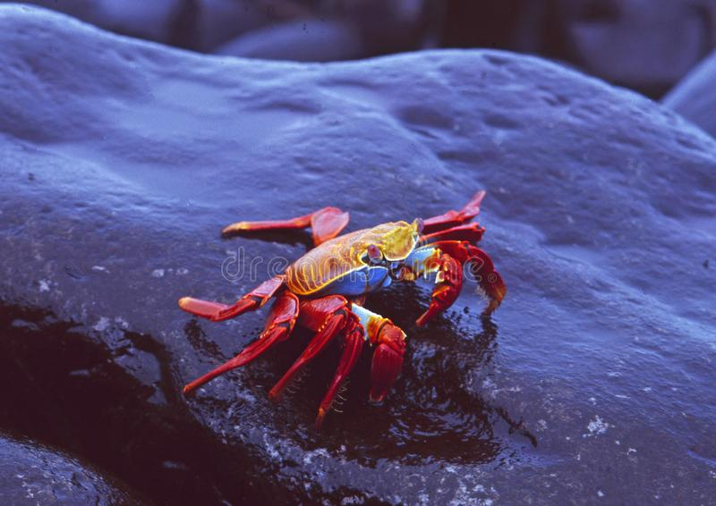 Equador: Granchi rossi che entrano nella spiaggia di isole Galapagos fotografia stock