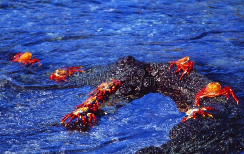 Equador: Granchi rossi che entrano nella spiaggia di isole Galapagos fotografie stock