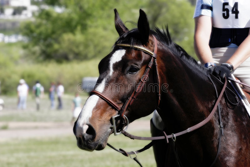 Equestrian Anticipation royalty free stock images