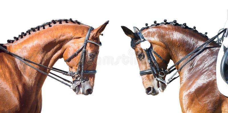 Equestrian sport portrait - dressage head of sorrel horse royalty free stock photo