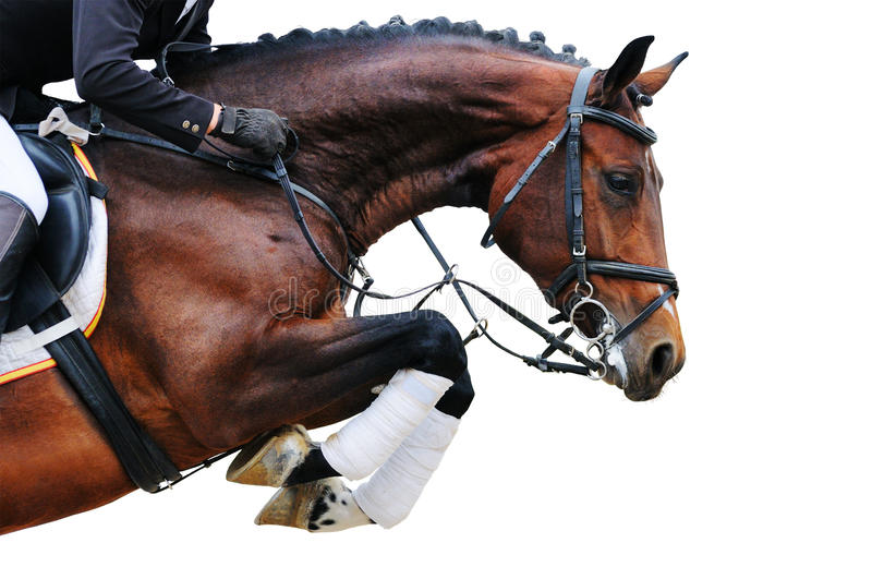Equestrianism: Bay horse in jumping show, isolated stock photo