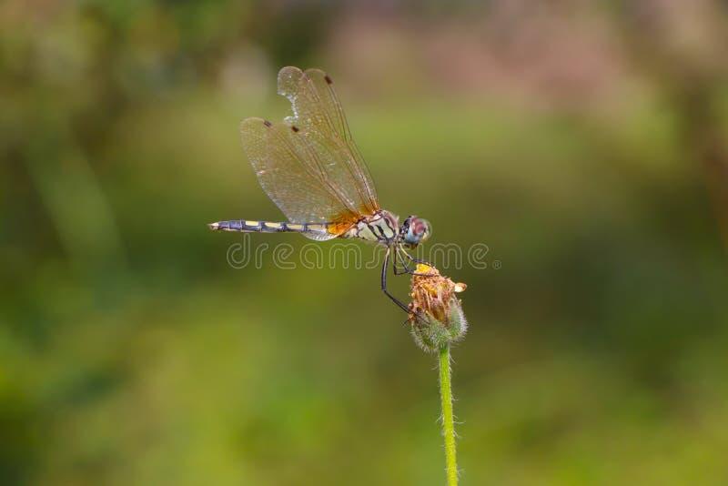 Equilíbrio de Dragonfly imagens de stock royalty free