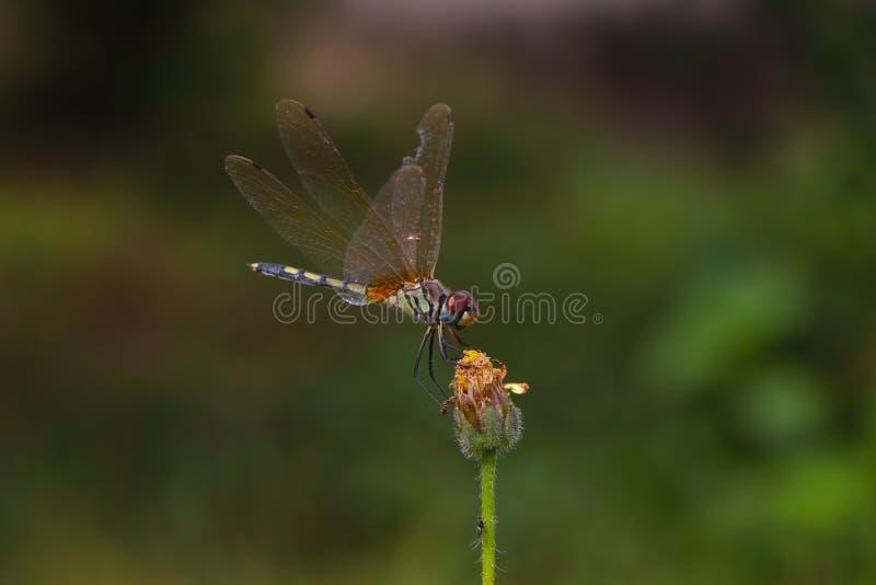 Equilíbrio de Dragonfly fotografia de stock
