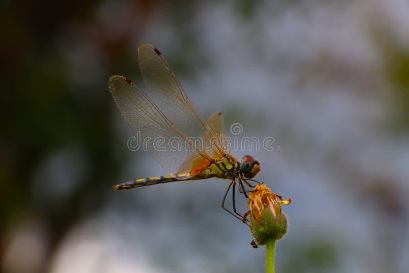 Equilíbrio de Dragonfly fotos de stock