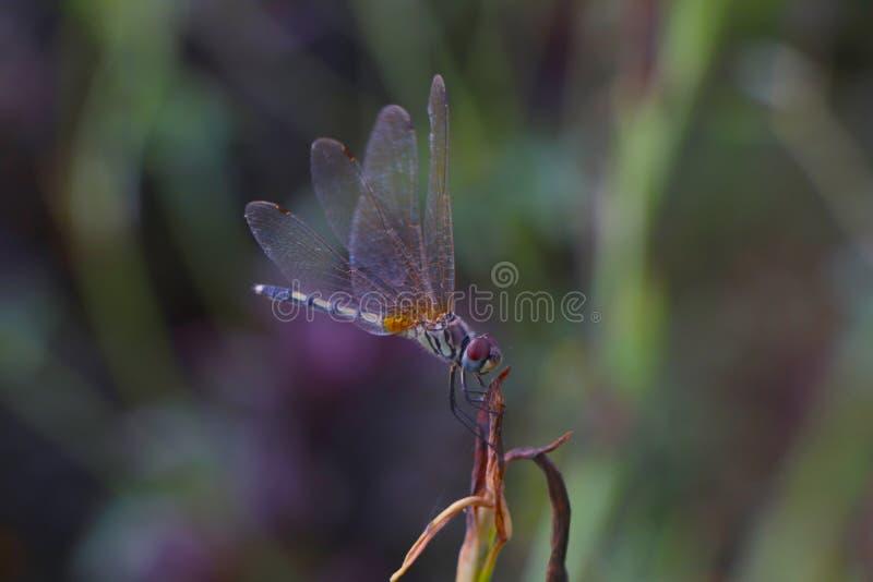 Equilíbrio de Dragonfly foto de stock