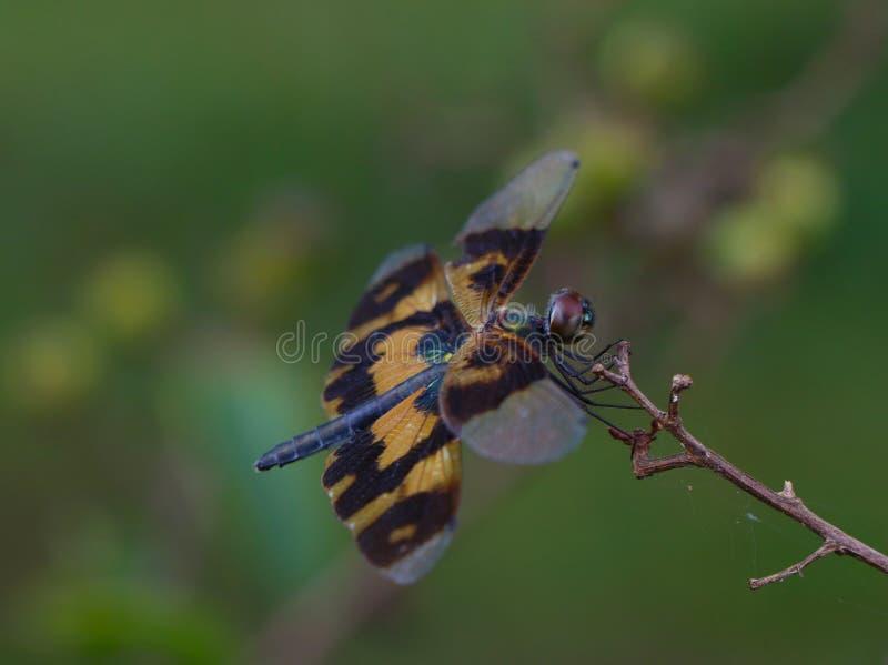 Equilíbrio de Dragonfly foto de stock royalty free
