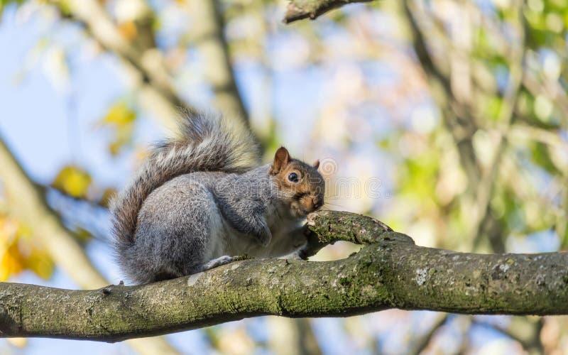 Equilíbrio do esquilo fotos de stock royalty free