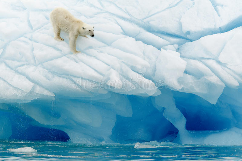Equilibrio del oso polar fotos de archivo