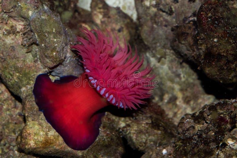 Equina do Actinia da anêmona de mar de Zool foto de stock royalty free