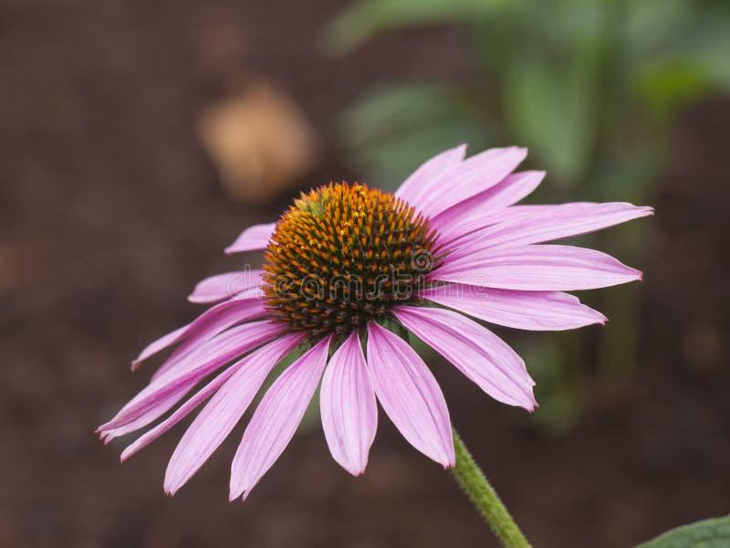 Equinacea flower in bloom. Pink Equinacea flower in bloom royalty free stock photos