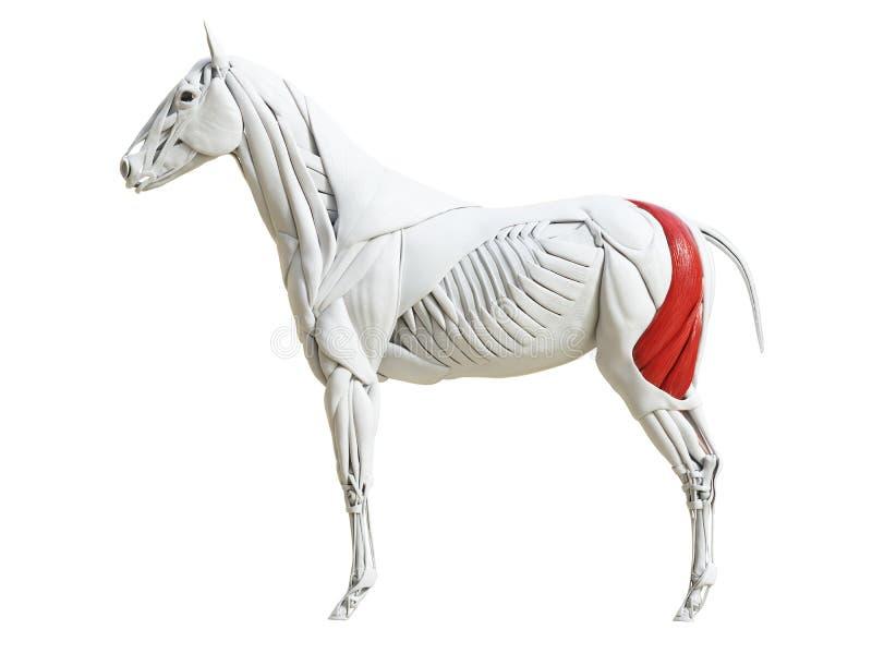 Equine анатомия мышцы - бицепс femoris бесплатная иллюстрация