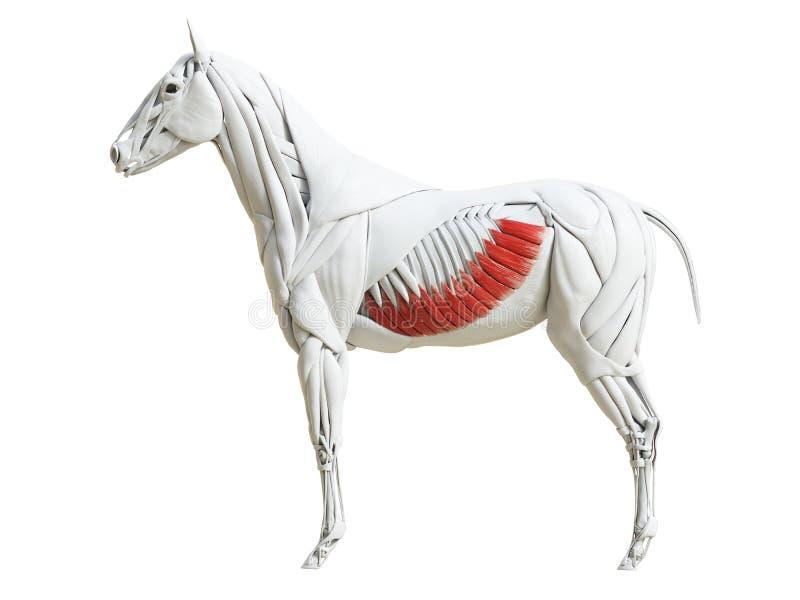Equine анатомия мышцы - внешнее подбрюшное косое иллюстрация вектора