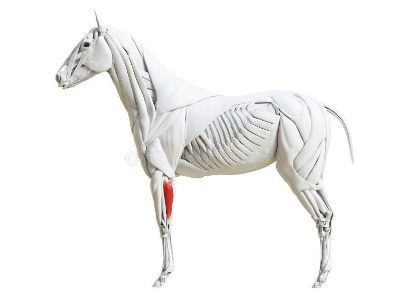 Equine анатомия мышцы - мышца боковой части ulnar иллюстрация штока