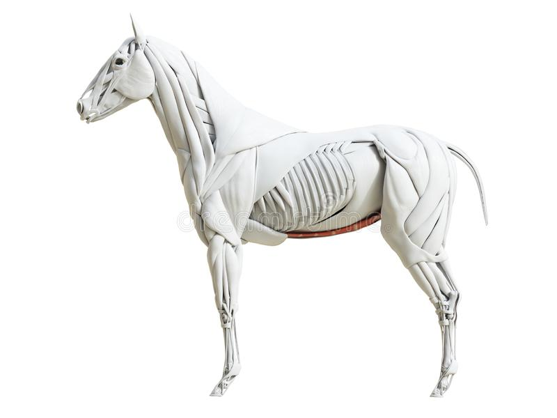 Equine анатомия мышцы - abdominis rectus иллюстрация вектора