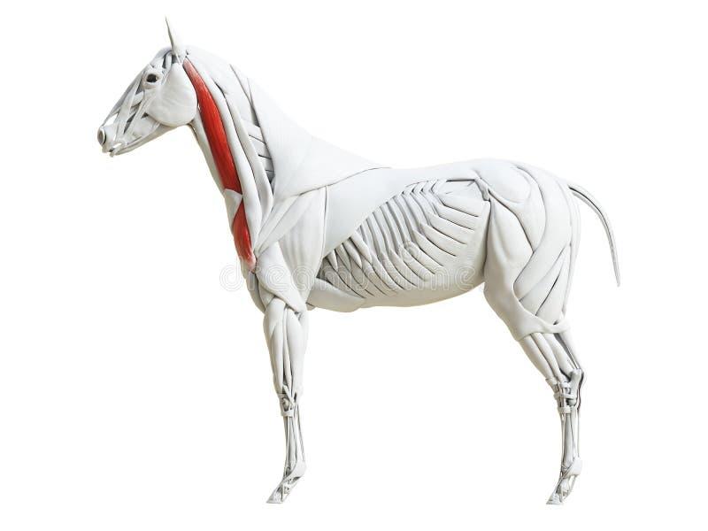 Equine анатомия мышцы - brachiocephalicus иллюстрация вектора