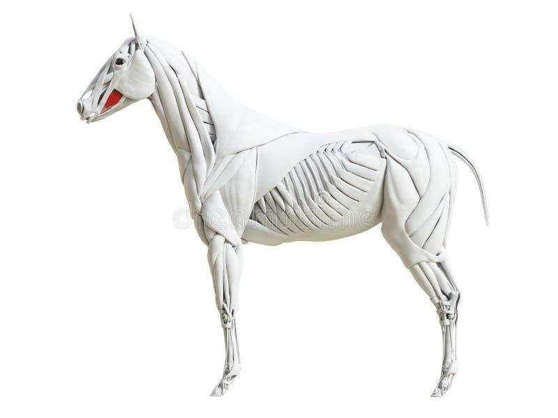 Equine анатомия мышцы - buccinator иллюстрация штока