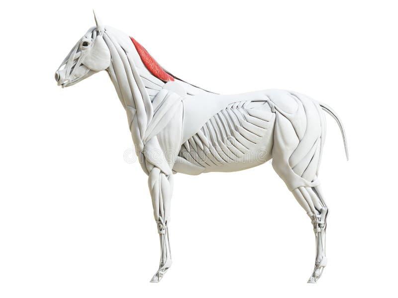 Equine анатомия мышцы - cervicis rhomboideus иллюстрация вектора