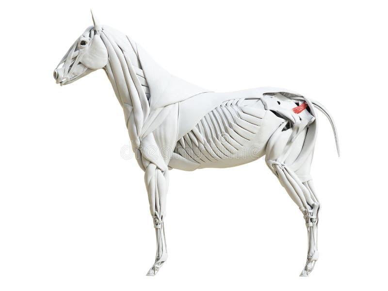Equine анатомия мышцы - Coccygeus бесплатная иллюстрация