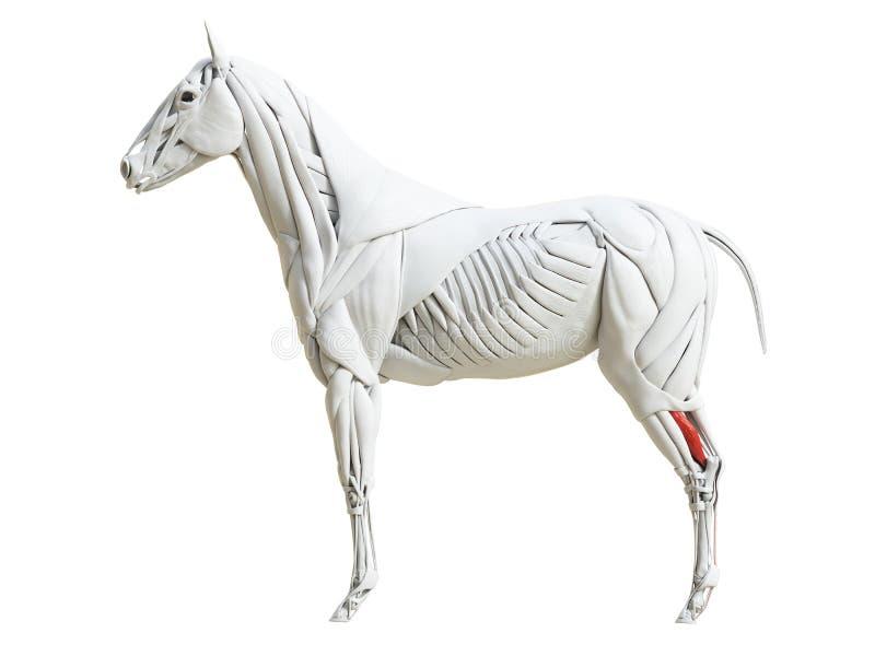 Equine анатомия мышцы - digitorum сгибателя profundus иллюстрация штока