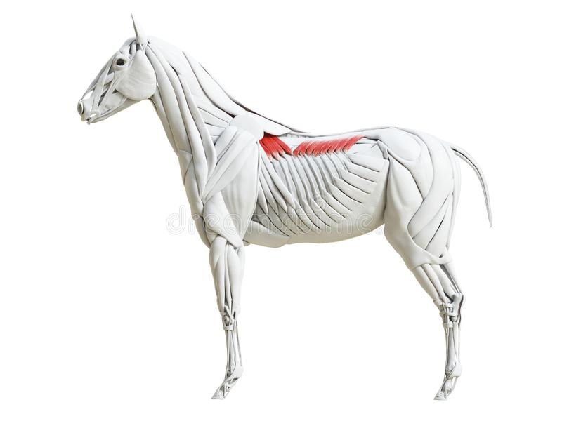 equine анатомия мышцы - dorsalis serratus иллюстрация вектора