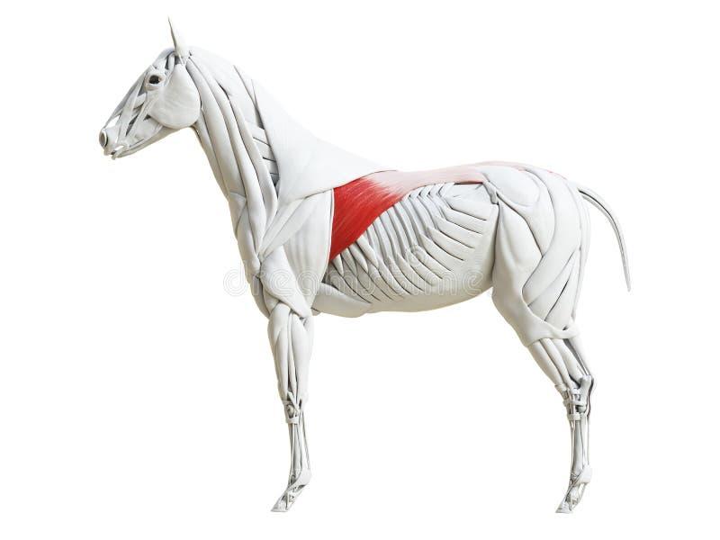 Equine анатомия мышцы - dorsi latissimus иллюстрация штока