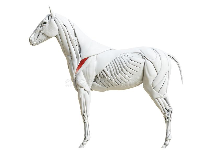 Equine анатомия мышцы - infraspinatus бесплатная иллюстрация