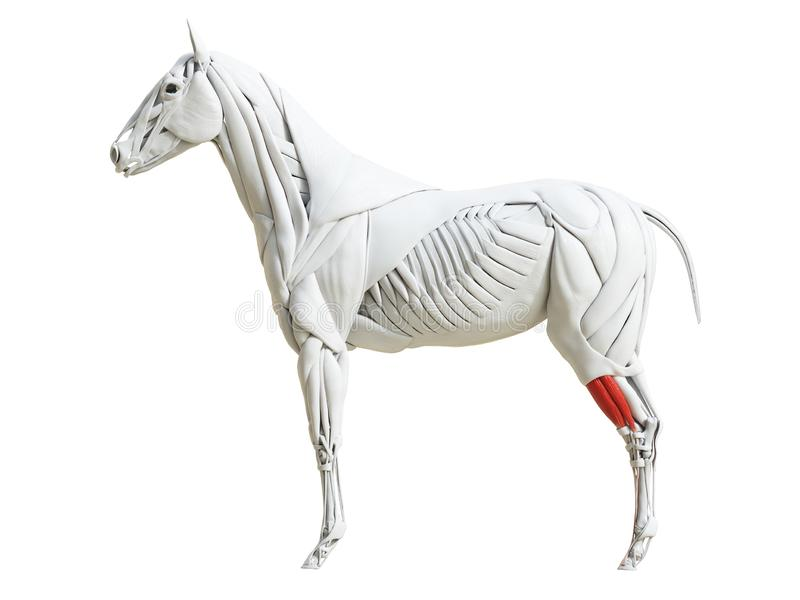 Equine анатомия мышцы - longus digitorum разгибателя бесплатная иллюстрация