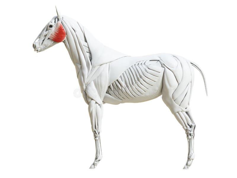 Equine анатомия мышцы - masseter иллюстрация штока
