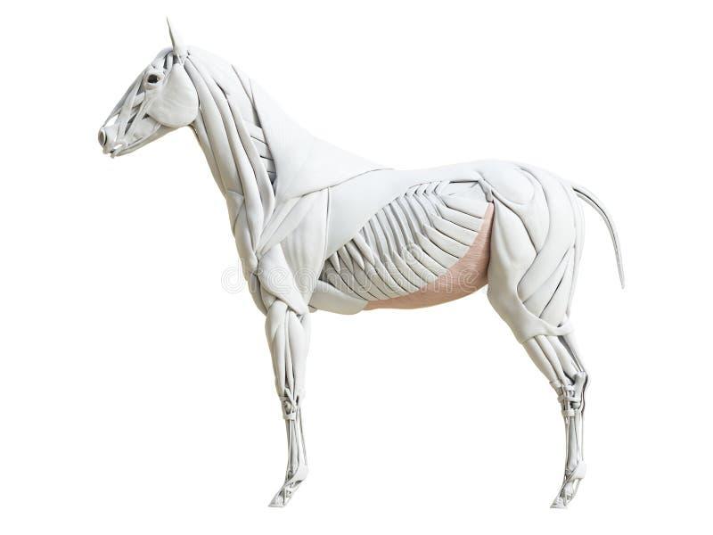 Equine анатомия мышцы - obliquus abdominis externus бесплатная иллюстрация