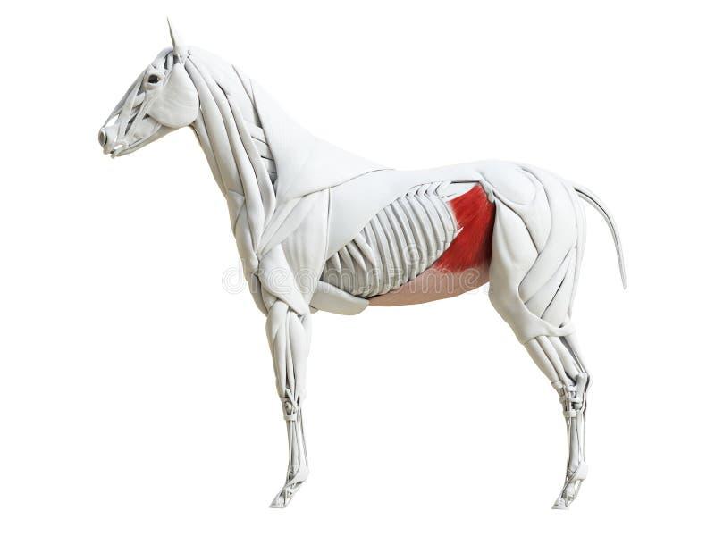 Equine анатомия мышцы - obliquus abdominis internus иллюстрация вектора