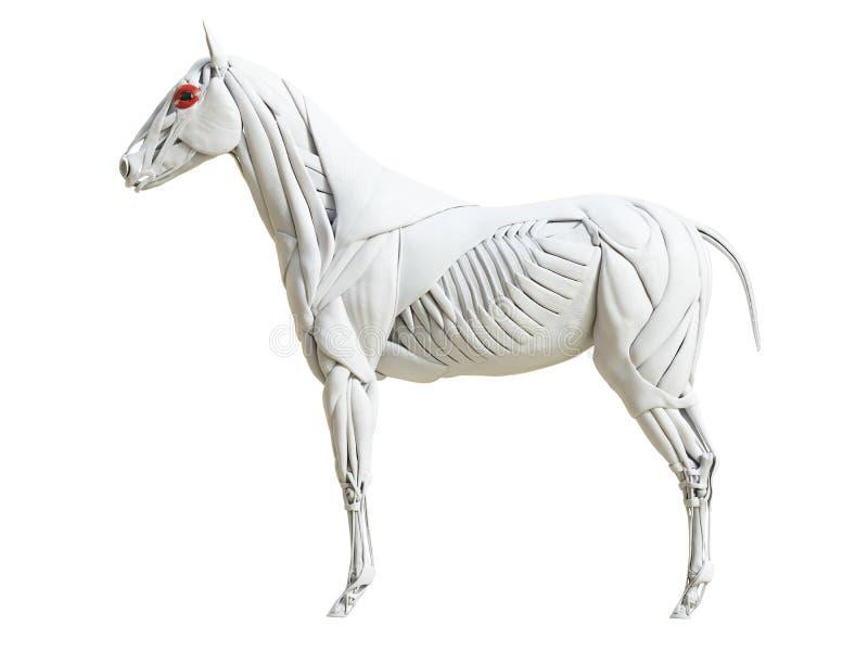 Equine анатомия мышцы - oculi orbicularis иллюстрация штока