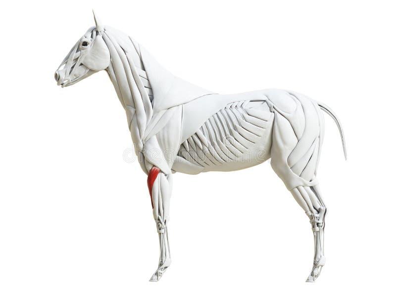 Equine анатомия мышцы - radialis carpi разгибателя бесплатная иллюстрация