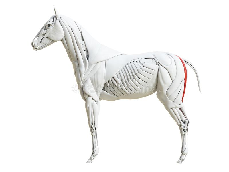 Equine анатомия мышцы - semitendinosus бесплатная иллюстрация