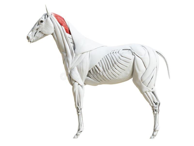 Equine анатомия мышцы - splenius иллюстрация вектора