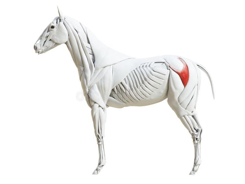 Equine анатомия мышцы - superficialis gluteus бесплатная иллюстрация