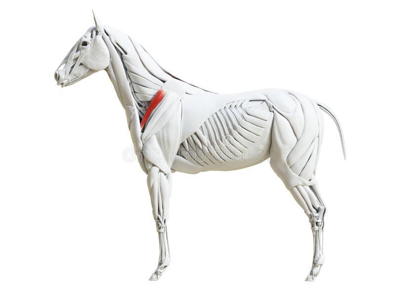 Equine анатомия мышцы - supraspinatus бесплатная иллюстрация