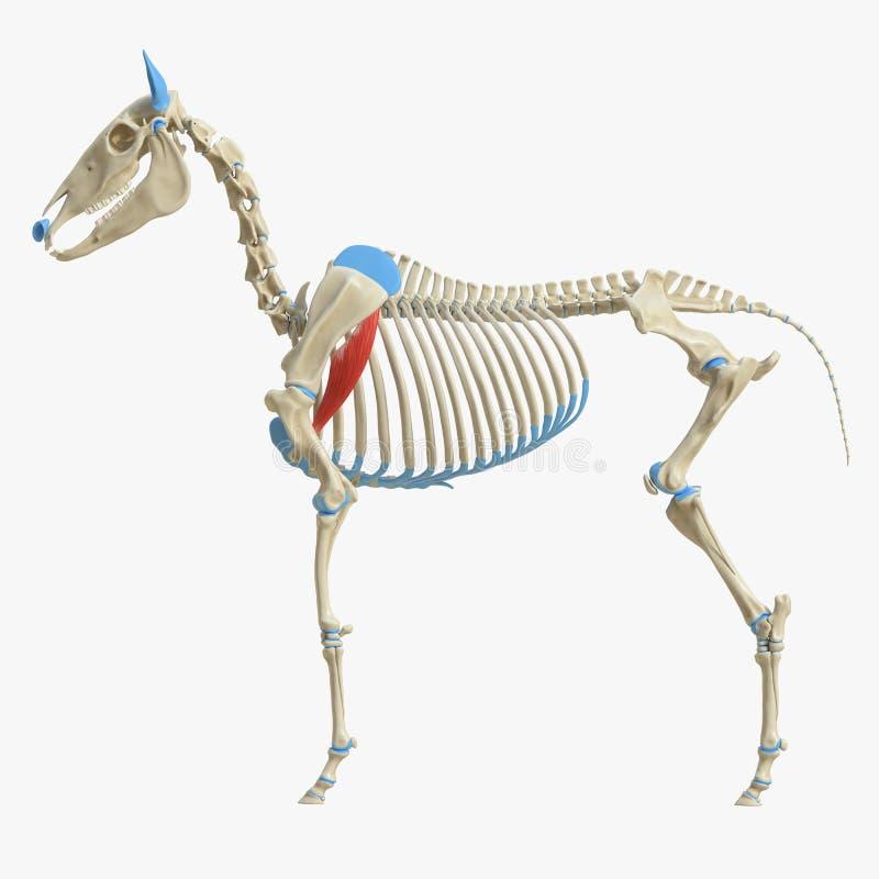 Equine анатомия мышцы - Teres главное бесплатная иллюстрация