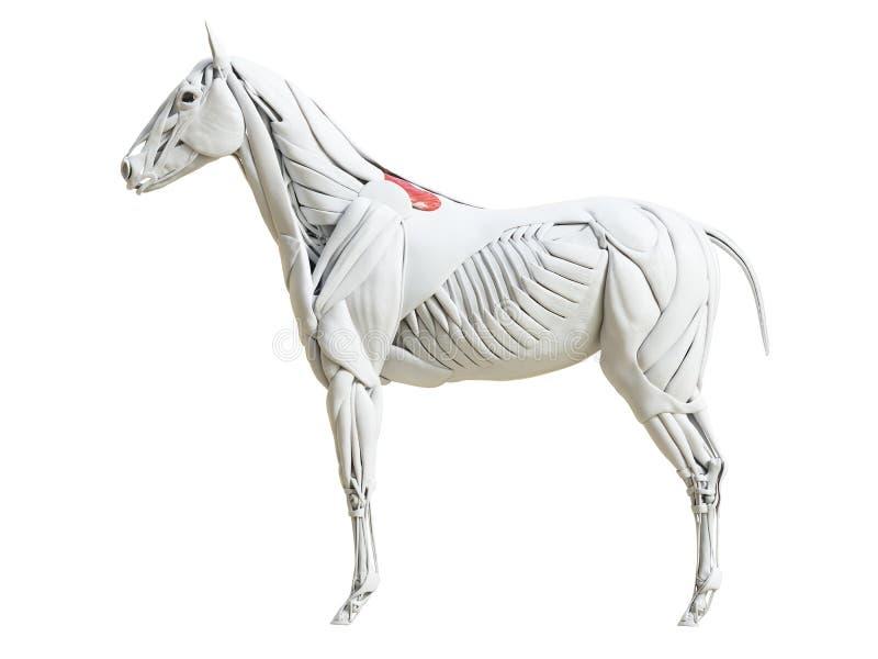 Equine анатомия мышцы - thoracis rhomboideus бесплатная иллюстрация