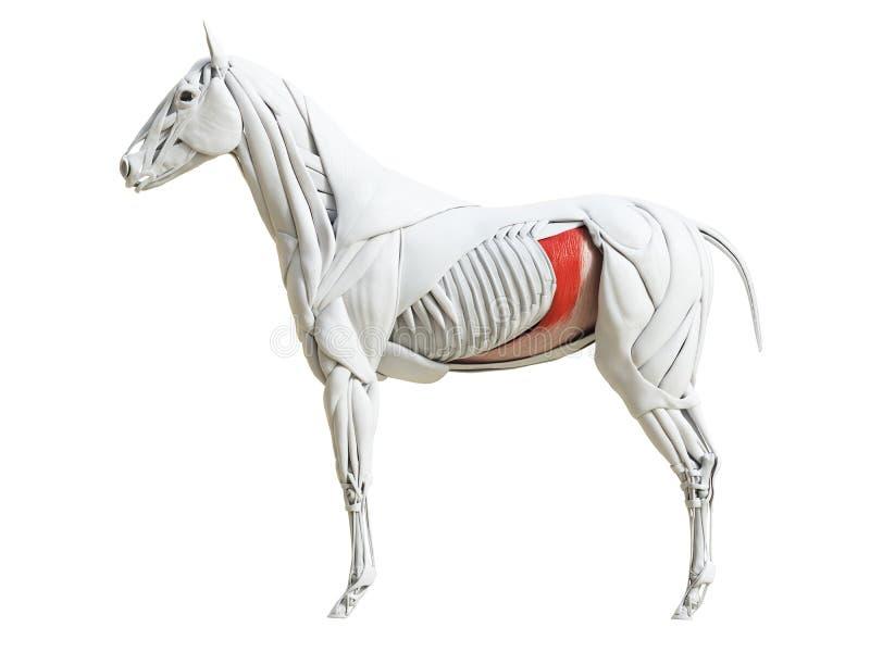 Equine анатомия мышцы - transversus abdominis иллюстрация штока