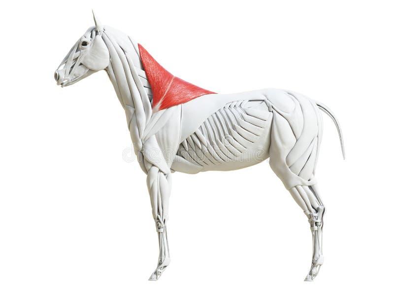 Equine анатомия мышцы - trapezius иллюстрация штока