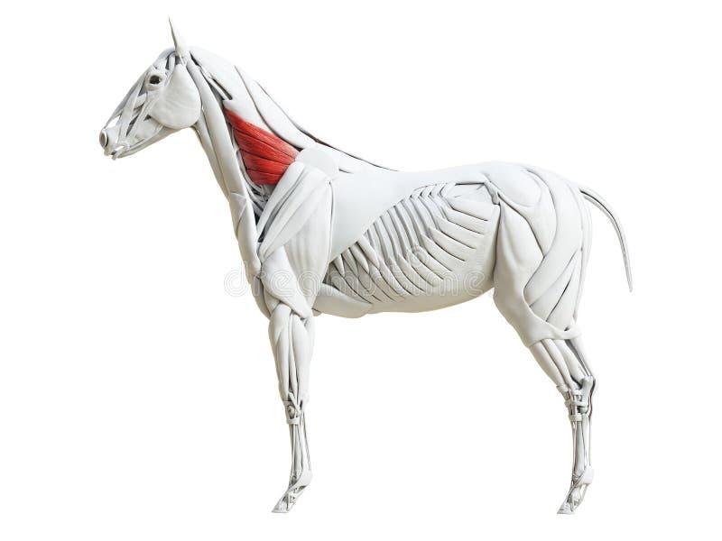 Equine анатомия мышцы - ventralis serratus иллюстрация штока