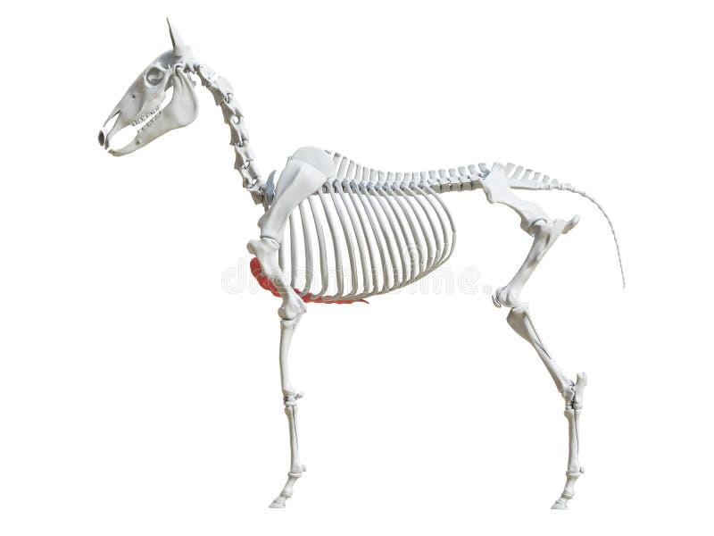 Equine скелет - грудина иллюстрация вектора