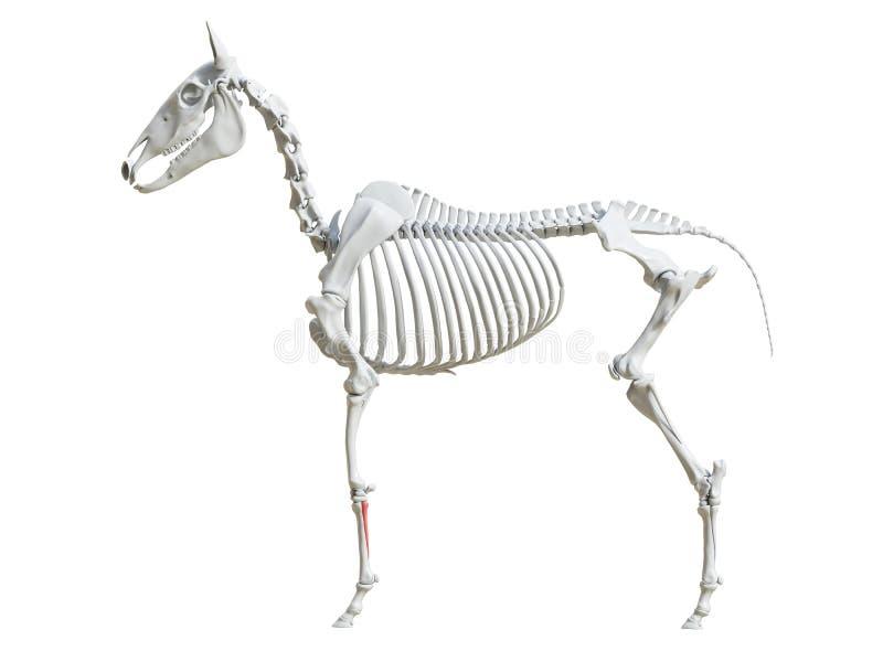 Equine скелет - косточка тутора иллюстрация вектора
