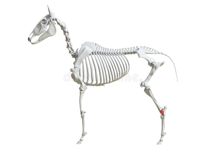 Equine скелет - осыпь бесплатная иллюстрация