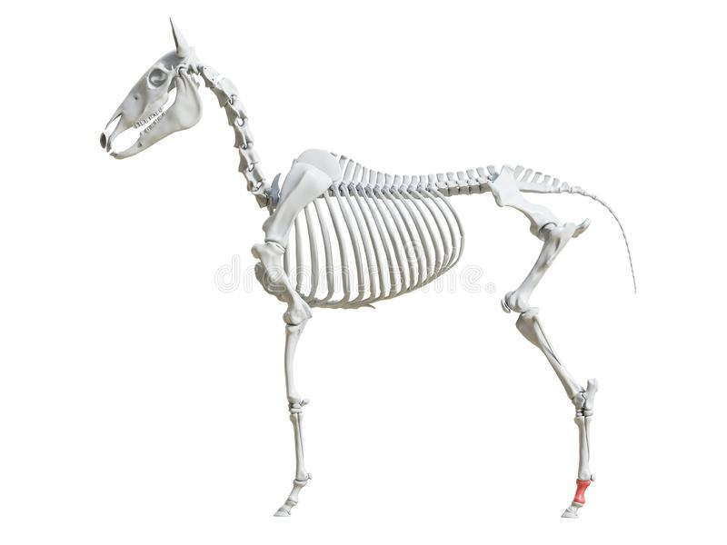 Equine скелет - первый фаланстер иллюстрация вектора