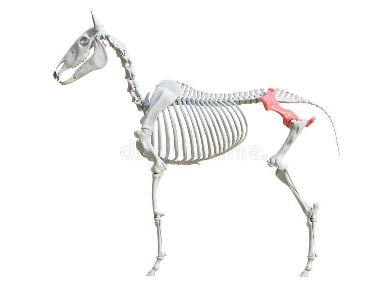 Equine скелет - подвздошная кость бесплатная иллюстрация