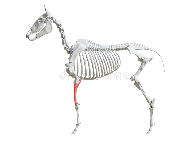 equine скелет - радиус иллюстрация вектора